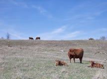 与小牛的红色安格斯母牛 库存照片