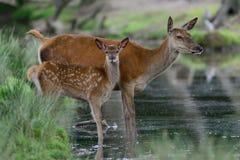 与小牛的马鹿 免版税图库摄影