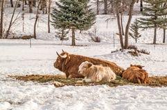 与小牛的高地母牛 库存图片