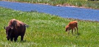 与小牛的水牛城母牛在黄石国家公园 免版税库存图片