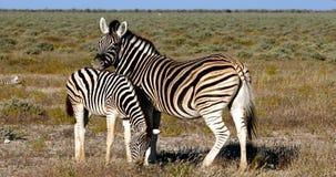 与小牛Etosha,纳米比亚,非洲徒步旅行队野生生物的斑马 股票视频