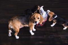 与小狗的母亲小猎犬在地板上 免版税图库摄影