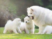 与小狗的母萨莫耶特人狗 免版税库存照片