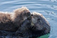 与小狗的海獭 免版税库存图片