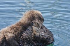 与小狗的海獭 免版税库存照片