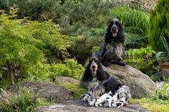 与小狗的纯血统英国猎犬 库存图片