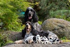 与小狗的纯血统英国猎犬 免版税库存图片