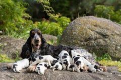 与小狗的纯血统英国猎犬 库存照片