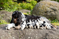 与小狗的纯血统英国猎犬 免版税库存照片