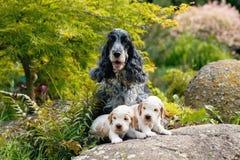 与小狗的纯血统英国猎犬 免版税图库摄影