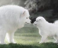 与小狗的萨莫耶特人狗 由后照 免版税库存照片