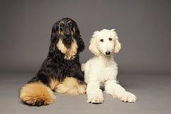与小狗的逗人喜爱的阿富汗猎犬 免版税图库摄影