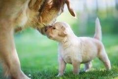 与小狗的金毛猎犬。 免版税库存图片