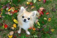 与小狗眼睛的奇瓦瓦狗 免版税库存照片