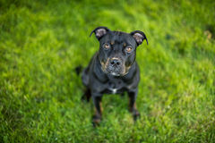 与小狗眼睛的黑美洲叭喇 免版税图库摄影