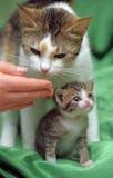 与小猫的妈妈猫 库存图片