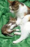 与小猫的妈妈猫 库存照片