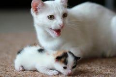 与小猫的猫 库存照片