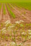 与小白花的开花的小茴香在麦地前面 免版税图库摄影