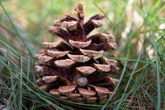与小的蜗牛壳的杉木锥体 库存照片