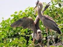与小的鸟的两个幼小伟大蓝色的苍鹭的巢 免版税图库摄影