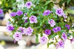 与小紫色花的露台杂种喇叭花在一个暂停的罐 免版税库存图片
