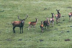 与小组的马鹿雄鹿hinds在草甸 免版税库存照片