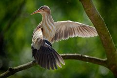 与小苍鹭的后面光在河附近的自然森林栖所 飞过舒展在树枝,罗马尼亚 利特 库存图片