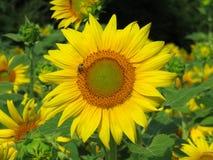 与小蜂的向日葵 库存图片