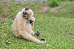 与小长臂猿的白色Cheeked长臂猿坐绿草 免版税库存图片