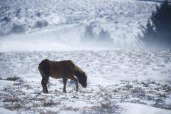 与小马的雪风景在Dartmoor国家公园 图库摄影
