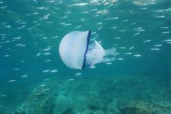 与小鱼的水母地中海果冻 库存图片