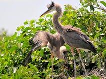与小鸟的两个幼小伟大蓝色的苍鹭的巢 免版税库存图片