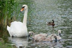 与小鸡和一只鸭子的天鹅在水中。 图库摄影