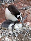 与小鸡和鸡蛋的Gentoo企鹅 库存图片