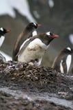 与小鸡的企鹅和鸡蛋在南极洲 免版税库存照片