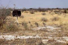 与小鸡的公非洲驼鸟,埃托沙国家公园,纳米比亚 库存照片