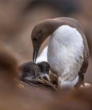 与小鸡的共同的海雀科的鸟 库存图片