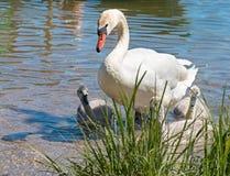 与小鸡的天鹅在湖 免版税库存图片