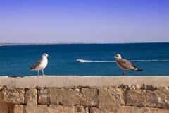 与小鸡的海鸥在海的背景 库存图片