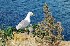 与小鸡的海鸥在背景海 免版税库存照片