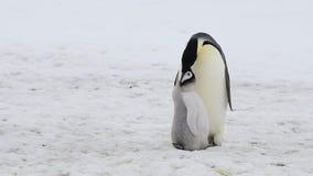 与小鸡的皇企鹅在南极洲 股票视频