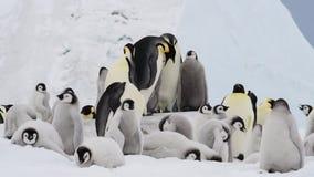 与小鸡的皇企鹅在南极洲 影视素材