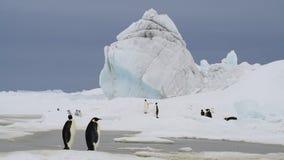 与小鸡的皇企鹅在南极洲 股票录像