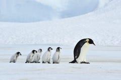 与小鸡的皇企鹅 免版税库存照片