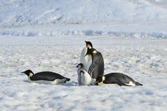 与小鸡的皇企鹅 库存照片