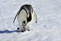 与小鸡的皇企鹅 库存图片