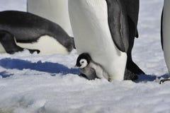 与小鸡的皇企鹅 图库摄影
