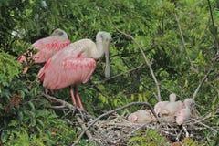 与小鸡的粉红琵鹭在巢 图库摄影