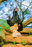 与小鸡的野生母鸡在檀香山夏威夷 免版税库存照片